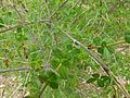 Cytisophyllum sessilifolium.JPG