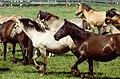 Dülmen, Wildpferdefang 1982 -- 2010 -- 8.jpg