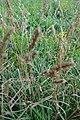 Dactylius glomerata, Poaceae 03.jpg