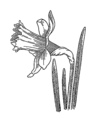 Daffodil (PSF).png