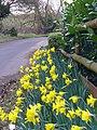 Daffodils at Woodhill - geograph.org.uk - 702591.jpg