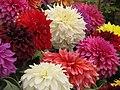 Dahlia - Indian Botanic Garden - Howrah 2012-01-29 1769.JPG