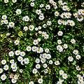 Daisies - Flickr - Stiller Beobachter (1).jpg