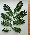 Dalbergia nigra Blätter1.jpg