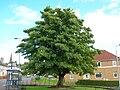 Dalry Sycamore tree, Ayrshire.JPG