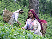 Darjeeling Tea Estate women tea pickers. Women form the majority of the tea pluckers.