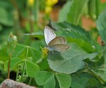 Dark Grass Blue (Zizeeria karsandra) at Jayanti, Duars W Picture 274.jpg