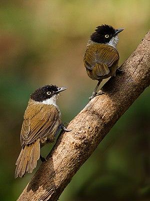 Dark-fronted babbler - R.a.atriceps at Dandeli, India