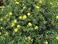 Dasiphora fruticosa ssp fruticosa 1.jpg