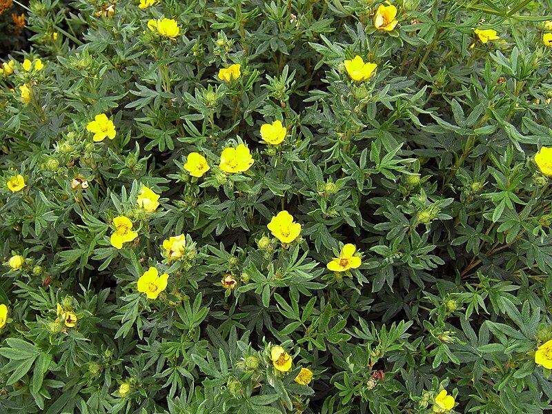 File:Dasiphora fruticosa ssp fruticosa 1.jpg