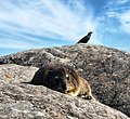 Dassie and bird on Table Mountain, Cape Town, South Africa 03.jpg