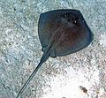 Dasyatis americana (southern stingray) (San Salvador Island, Bahamas) 4 (15967470059).jpg