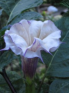 <i>Datura</i> genus of plants
