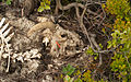 Dead Sheep (3666072495).jpg