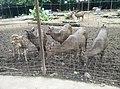 Deer in Zoo Negara Malaysia (6).jpg