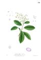 Delima sarmentosa Blanco1.190.png