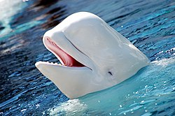Beluga Whale, for which the village and river were named for