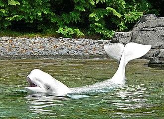 Vancouver Aquarium - Beluga performing at the Vancouver Aquarium