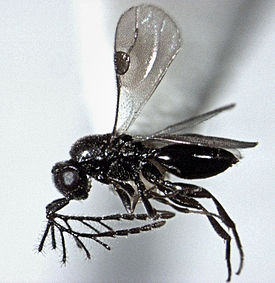 Dendrocerus sp. male.jpg