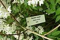Deutzia x rosea, Kornik (2).JPG