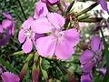 Dianthus rupicola 2c.JPG