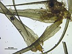 Dicranum fulvum (d, 143220-475506) 3352.JPG
