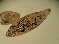 Des petites douves du foie, adultes, vues au microscope