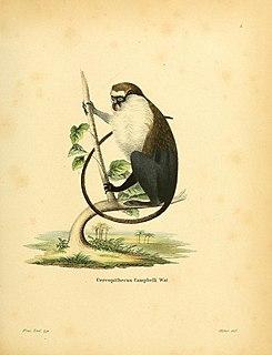 Campbells mona monkey Species of Old World monkey