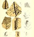Die fossile Flora der Permischen Formation (1864) (20916321335).jpg