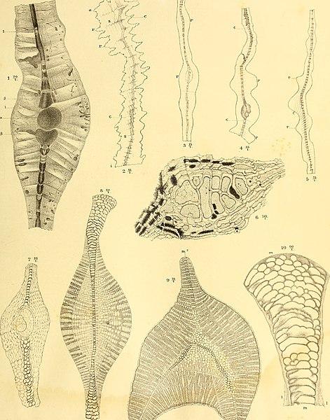File:Die fossilien von Java auf grund einer sammlung von Dr. R.D.M. Verbeek und von anderen; (1891) (20728983558).jpg