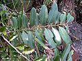 Diospyros australis Barrenjoey.JPG