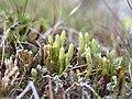 Diphasiastrum alpinum plant (12).jpg