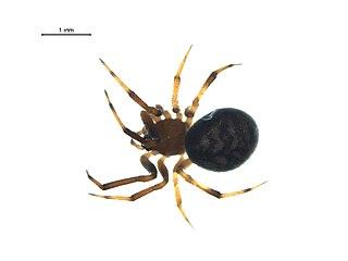 <i>Dipoena</i> Genus of spiders