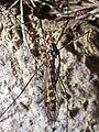 Diptera en Bastavales Brion Galiza Spain 3.jpg
