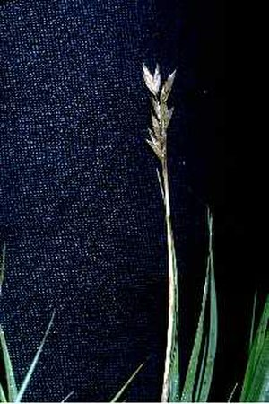 Distichlis spicata - Image: Dist 3 001 svp