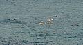 Dolphins (7804993648).jpg