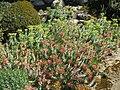 Domaine des Colombières - Euphorbia rigida 1.jpg