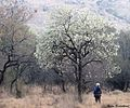Dombeya rotundifolia00.jpg