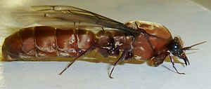 Dorylus - A male driver ant