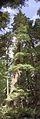 Douglas-fir (2972221531).jpg