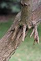 Dracaena draco aerial roots.JPG