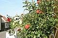 Dragør - Rose bush - panoramio - Jens Cederskjold.jpg