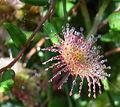 Drosera rotundifolia Einzelblatt.JPG