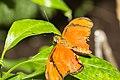 Dryas iulia Naturospace Honfleur -7197.jpg