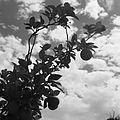 Drzewo pomarańczowe w parku miejskim - Afganistan - 001939n.jpg