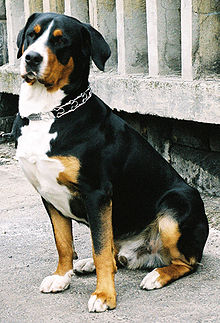 This sitting Greater Swiss Mountain Dog exhibits the preferred forequarters of the breed.
