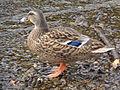 Ducks Upper Lake 07.JPG