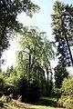 Duppach (Eifel); Trauerbuche im Duppacher Wald f.jpg