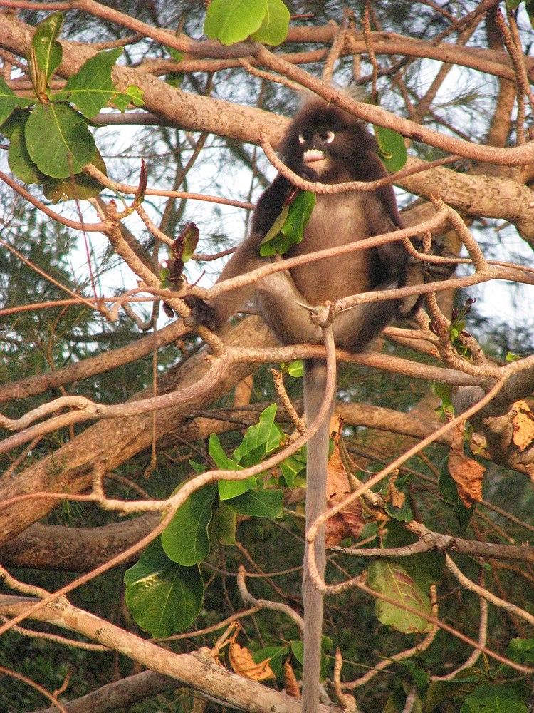 The average litter size of a Dusky leaf monkey is 1