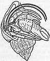 EB1911 Crab - Fig. 6.—Eupagurus Bernhardus (Soldier Crab).jpg